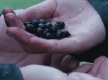 Ядовитые ягоды. Как не отравиться. - Морник.png