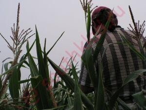 Кукуруза - б12.jpg