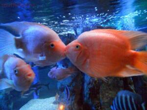 Фото наших домашних питомцев. и не только наших  - рыбы2.JPG