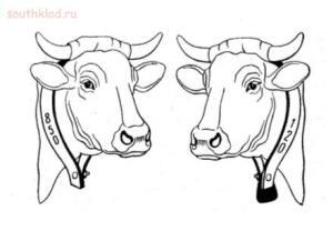 Имею интерес до ваших знаний  - cattle_tagging_12.jpg