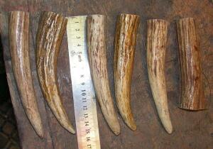 [Продам] Обрезки рога для рукоятей ножей - PICT2300.JPG