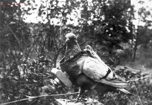 Старые фото обо всем... - A-pigeon-with-a-small-camera-attached.-The-trained-birds-were-used-experimentally-by-German-citizen-Julius-Neubronner-before-and-during-the-war-years-capturing-aerial-images-when-a-timer-mechanism-clicked-the-shutte.jpg