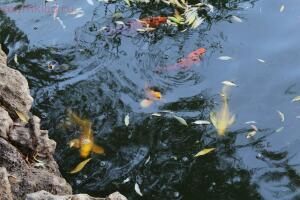 на территории несколько прудов с рыбами такими - 1.JPG