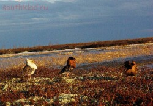 Турухтаны - болотные птахи... - Турухтаны.JPG