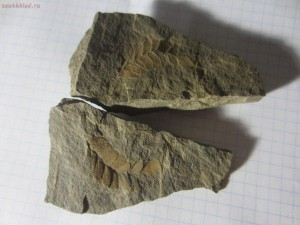 Окаменелая флора Палеозоя - IMG_5791.JPG